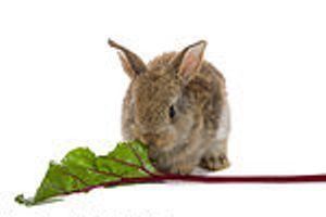карликовый кролик на прогулке
