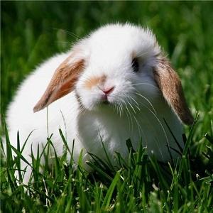 определение пола у кролика