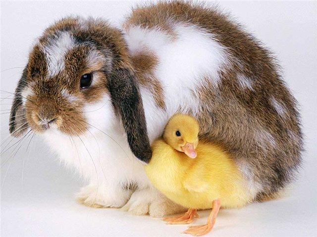 кролик и шиншилла