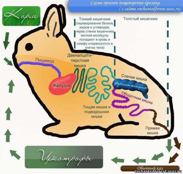 цекотрофы у кролика