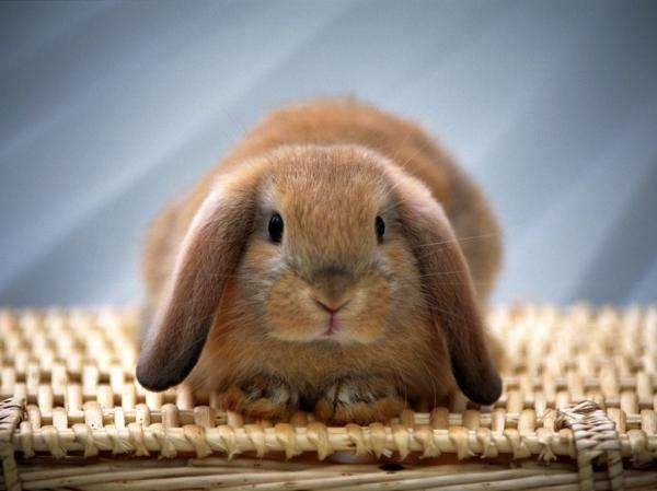половое созревание кролика