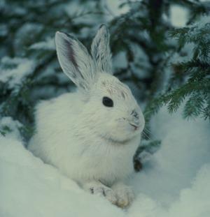 хвоя и кролик