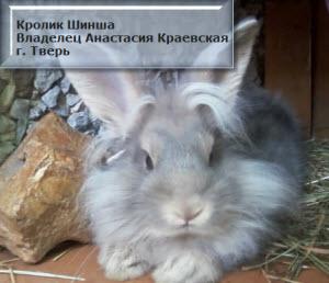 как чистить кролику уши