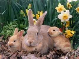 ложная беременность у кролика