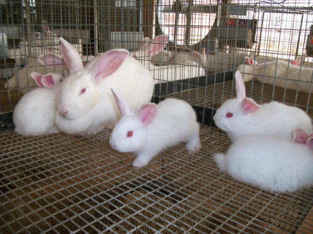 Самка крольчиха