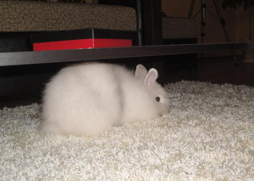 Ложная беременность декоративных кроликов