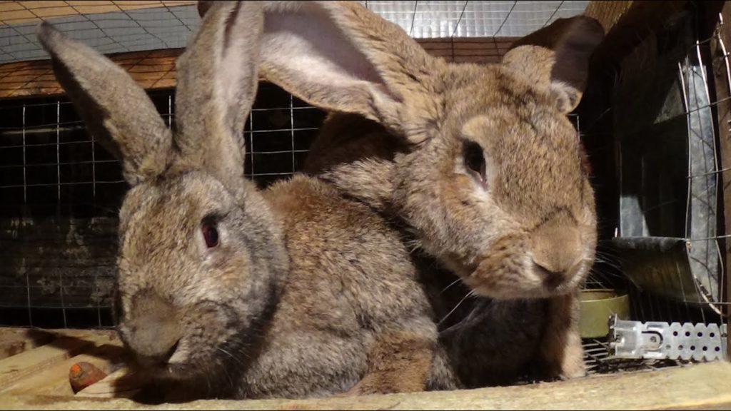 Спаривать кроликов