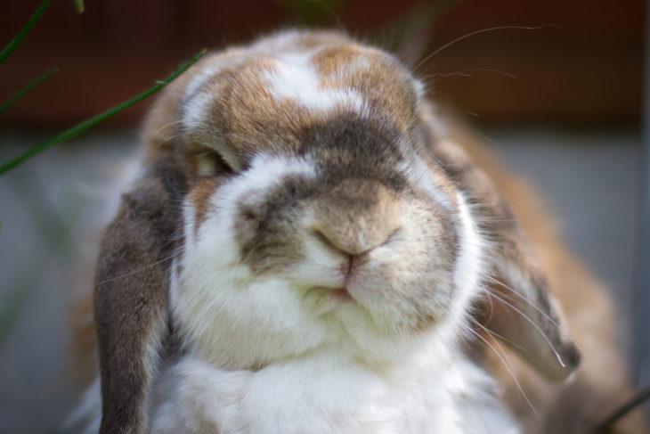 Кролик агрессивный