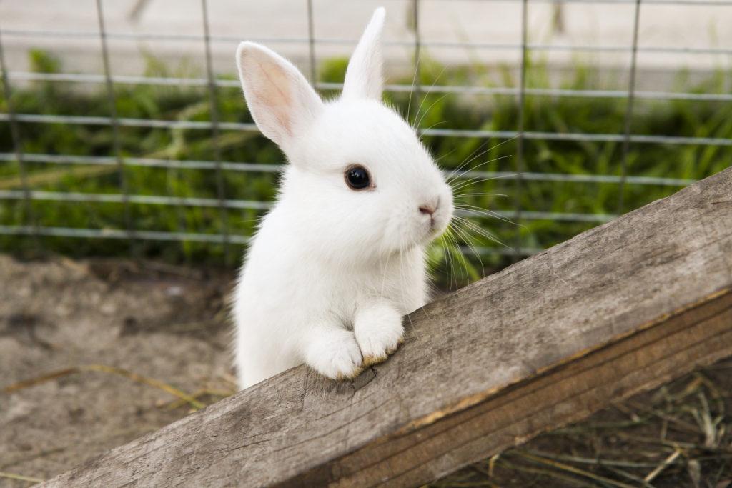 Покупка кролика