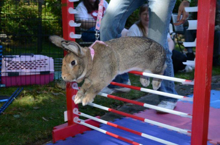 Аджилити для кроликов