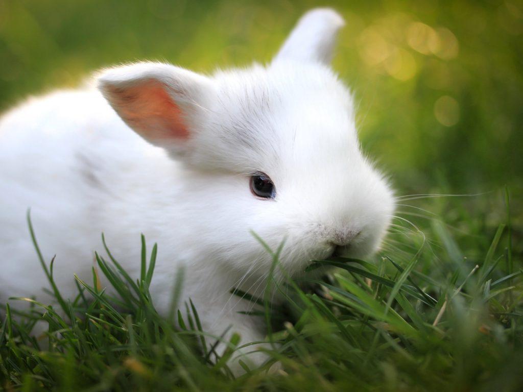Кролик не грызун