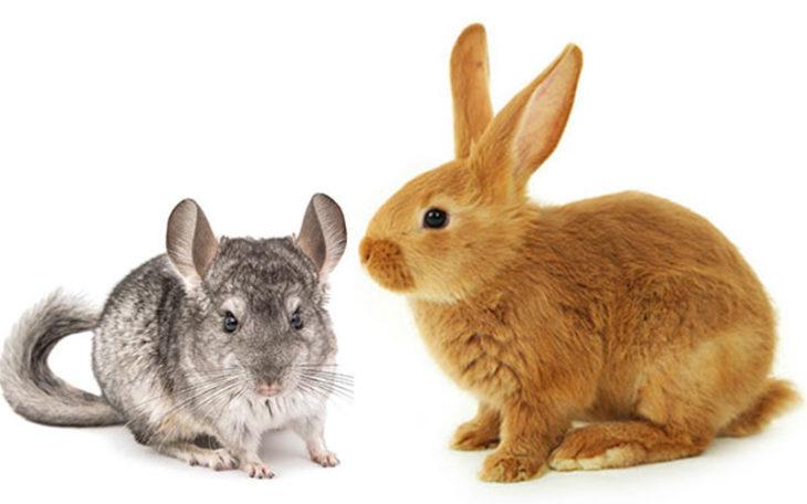 Кролик и шиншила