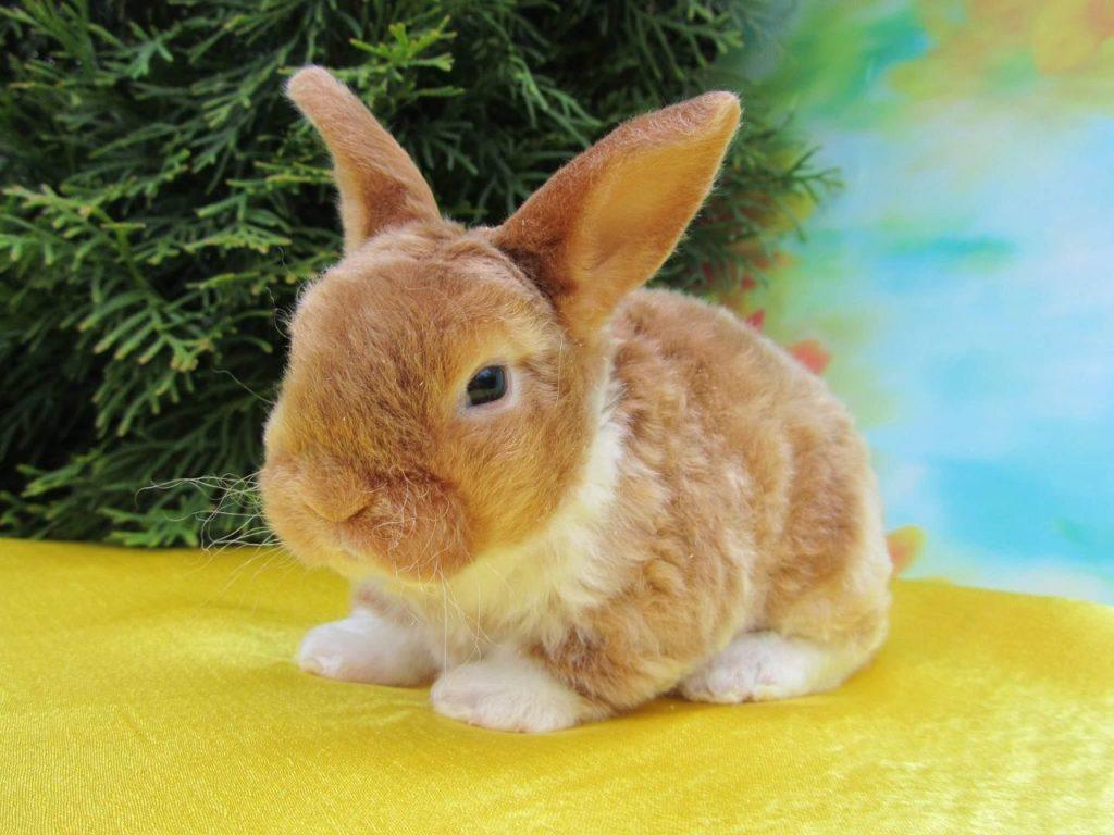 Заводчик декоративных кроликов