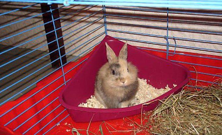 Как приучить карликового кролика к туалету