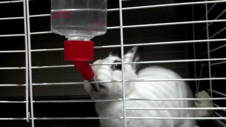 Как приучить кролика к поилке