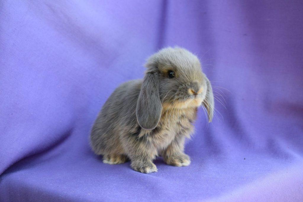 Порода декоративных кроликов