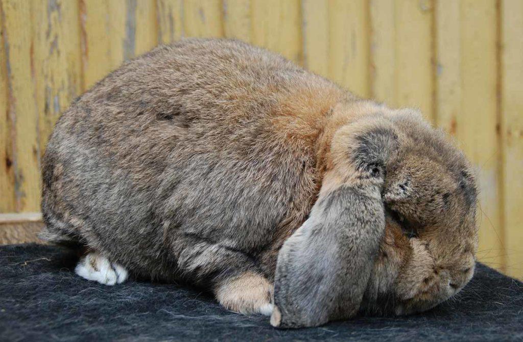 Ожирение кролика