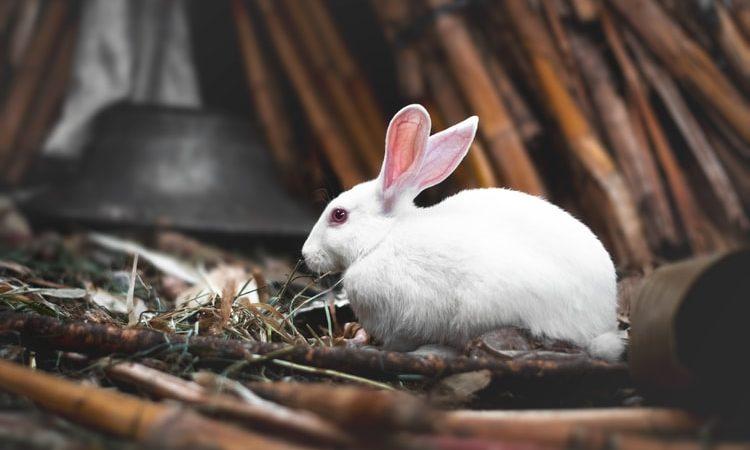 Можно ли держать декоративного кролика за уши?