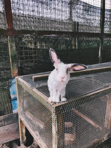 Кролик ушастый