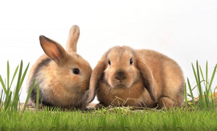 Пара для кролика