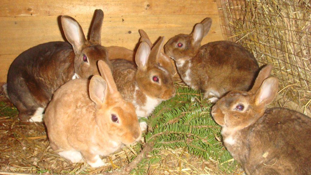 Можно ли скармливать карликовому кролику хвою?