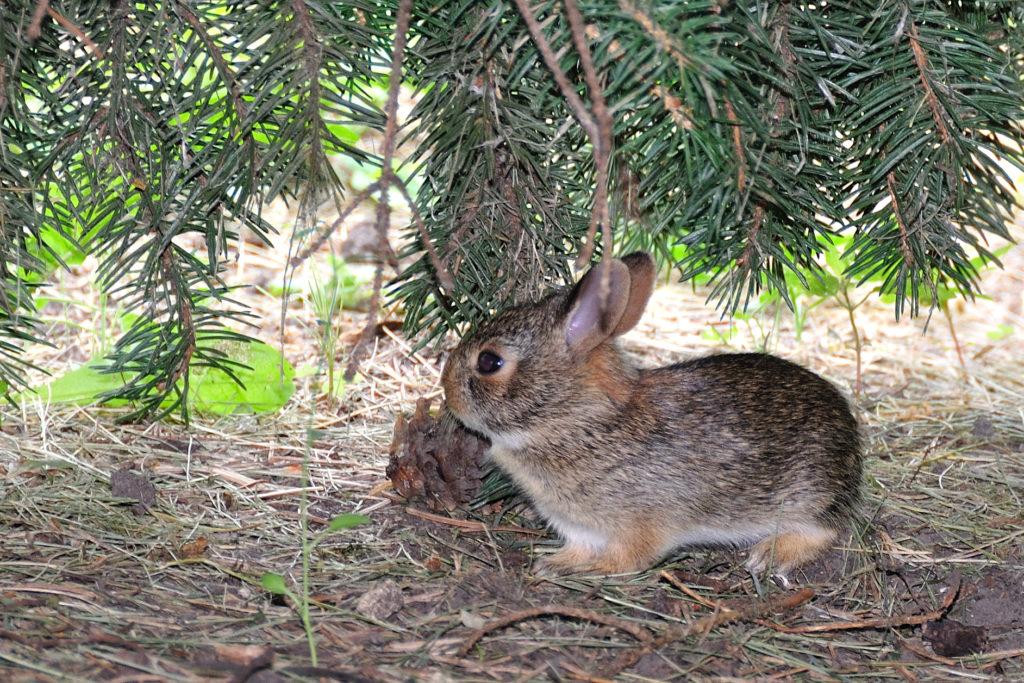 Каким кроликам можно давать хвою и в каком количестве?