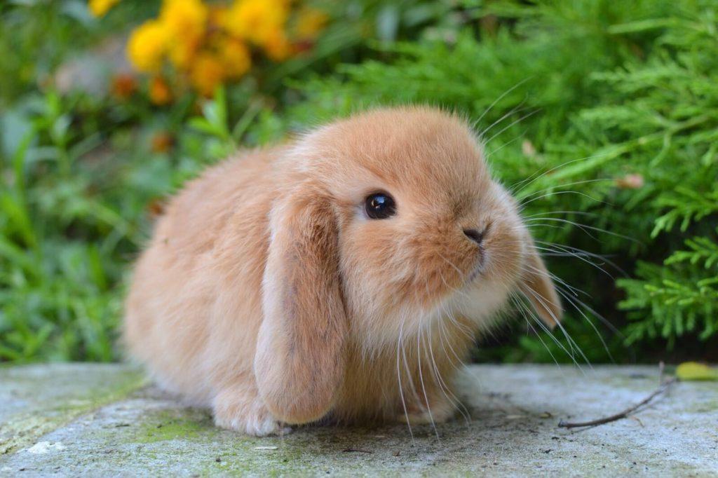 Купить карликового кролика