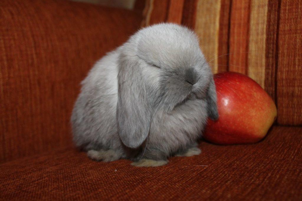 В каком возрасте покупать кролика