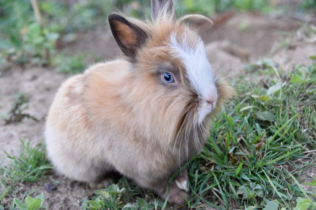 Карликовый или декоративный кролик?