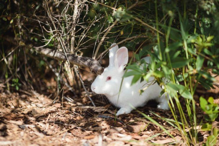 Белый кролик гуляет