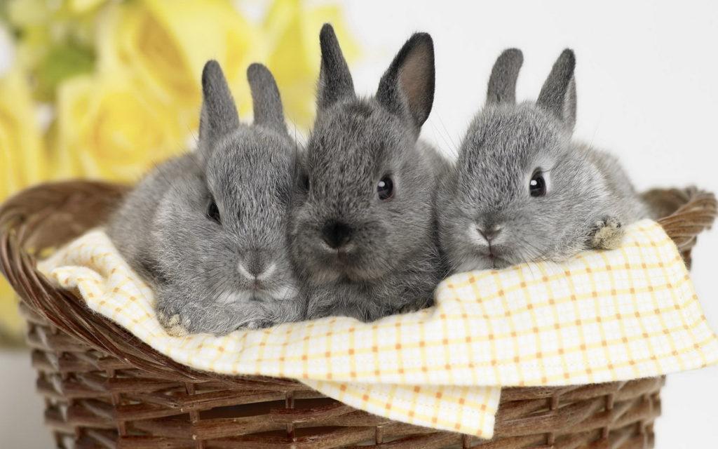 Пищеварение декоративных и карликовых кроликов