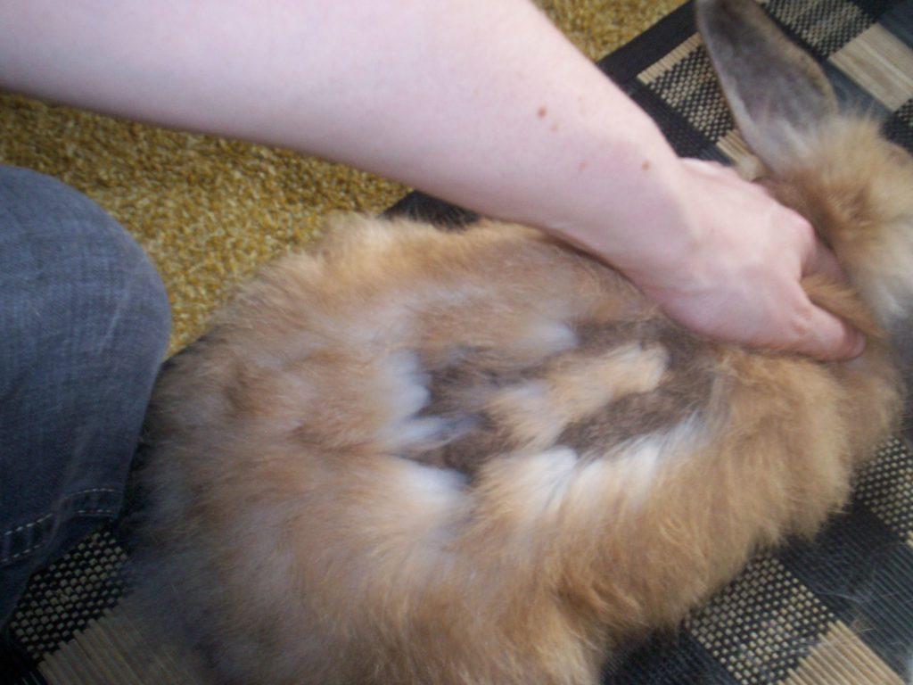 У кролика линька