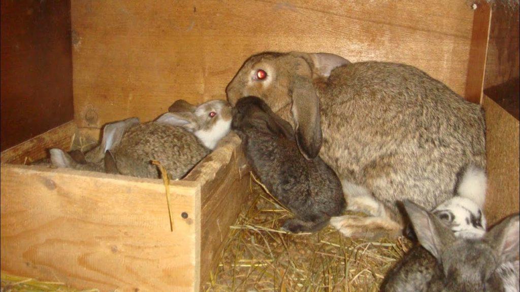 Приплод кроликов